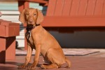 Ben at home_Vizsla