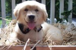 golden-retriever-puppy-picture-0005