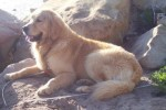 golden-retriever-puppy-picture-0007