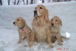 golden-retriever-puppy-picture-0024