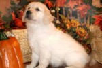 golden-retriever-puppy-picture-0035