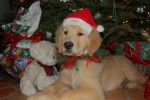 golden-retriever-puppy-picture-0045