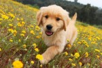 golden-retriever-puppy-picture-0093