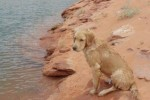 golden-retriever-puppy-picture-0115