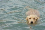 golden-retriever-puppy-picture-0116