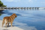 golden-retriever-puppy-picture-0119