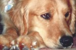 golden-retriever-puppy-picture-0153