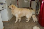golden-retriever-puppy-picture-0156