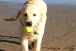 golden-retriever-puppy-picture-0166