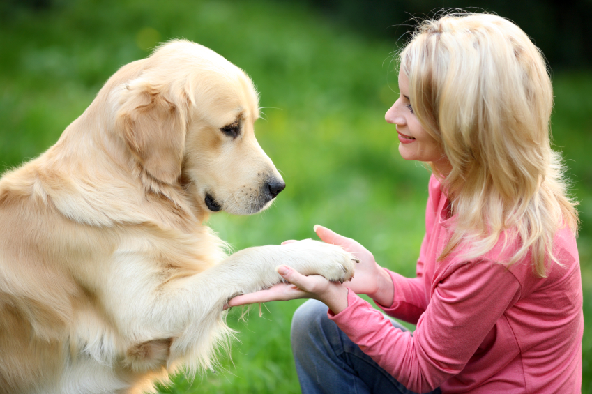 Trained Golden Retriever Service Therapy Dogs For Sale