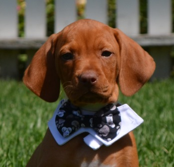 Trained vizslas perfect gun dogs and hunting dogs for sale golden