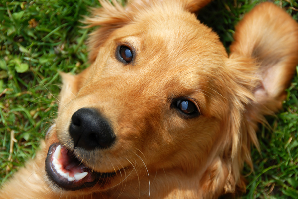 Searching For An Ethical Akc Golden Retriever Breeder