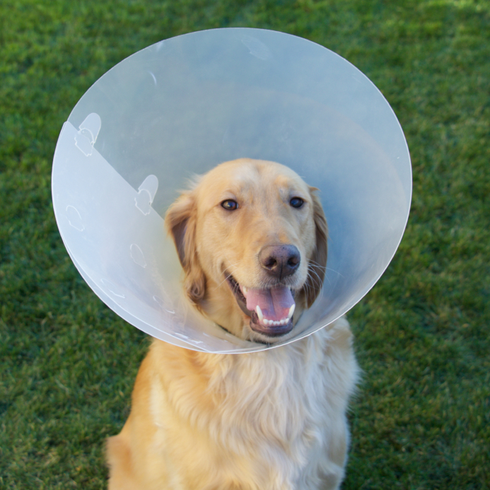 Managing Your Dogs Allergies Golden Meadows Retrievers