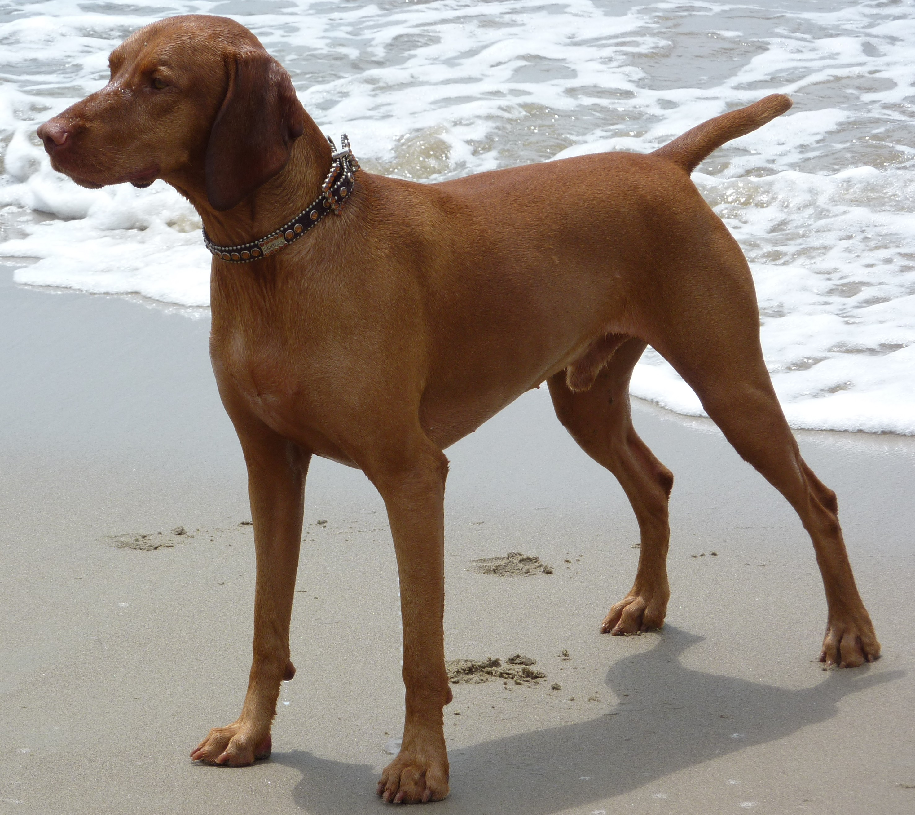 Vizsla Golden Retriever Mix