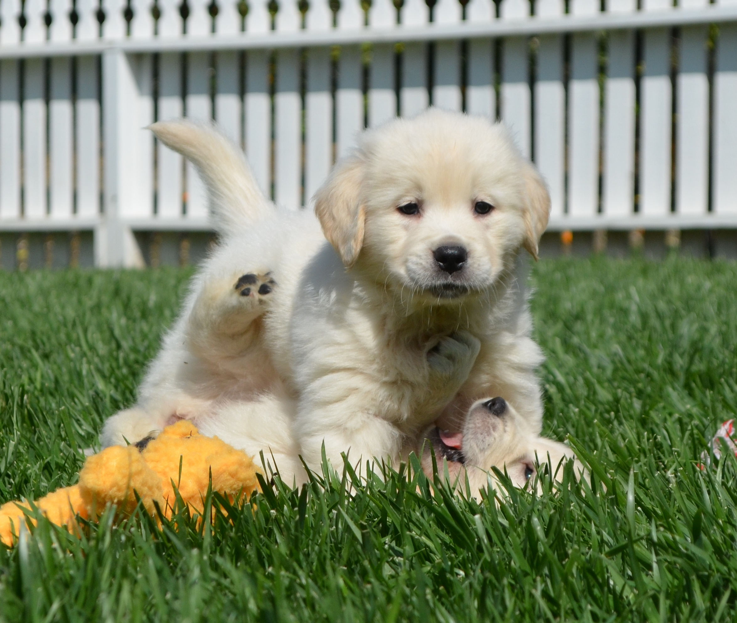 Cream Colored Golden Retriever | Assistedlivingcares