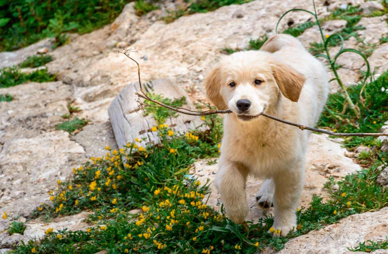 A Day in the Life With Golden Retriever Puppies - Golden Meadows