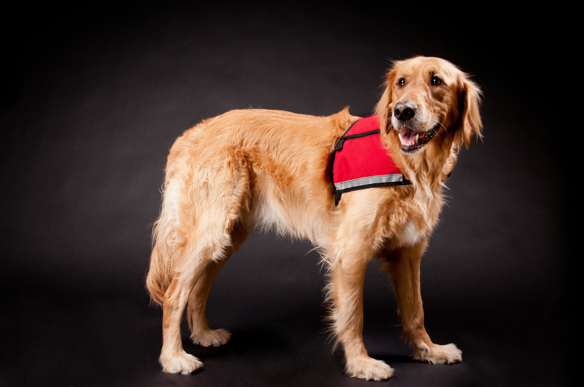 Image of: Service Therapy Pet Therapy Dogs Two Things To Know Golden Meadows Retrievers