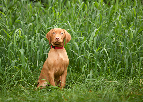 Trained Vizsla Puppies How To Raise A Safe Happy Well Mannered Pup