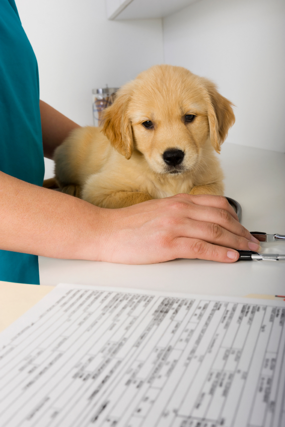 Golden retriever puppy vaccinations