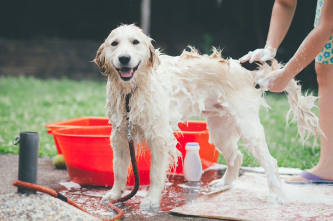 Ultimate Guide to Grooming Your Golden Retriever | Golden Meadows