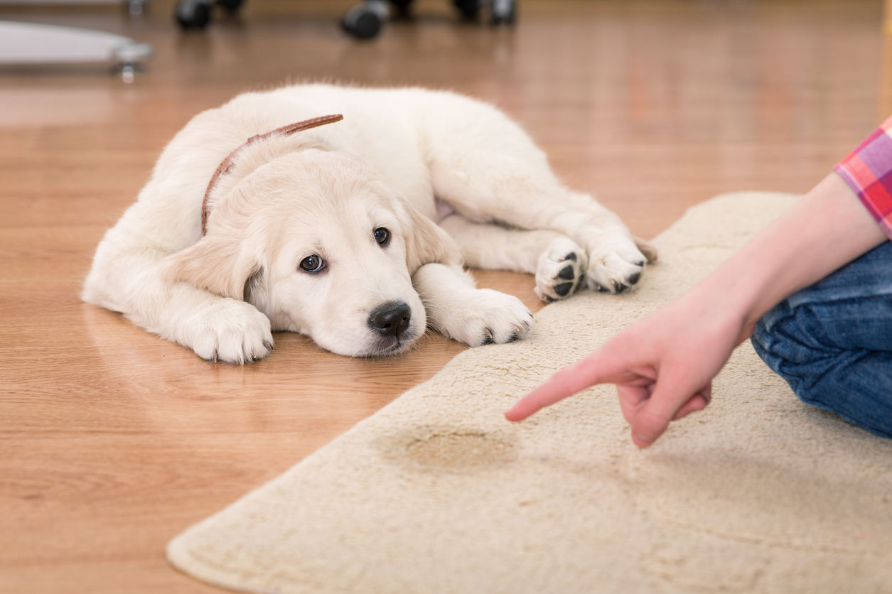 How To Fix Puppy Potty Training Problems | Golden Meadows