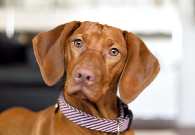 How to Introduce Your Vizsla Pup to House Members | Golden Meadows