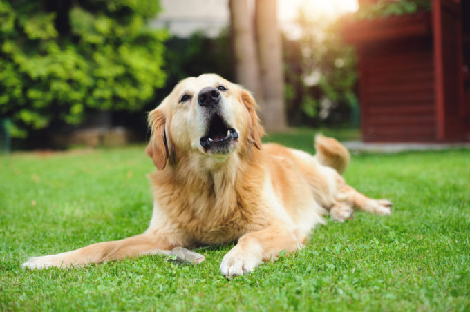 If Your Dog's Bark Suddenly Changes, Do NOT Ignore It | Golden Meadows Retrievers