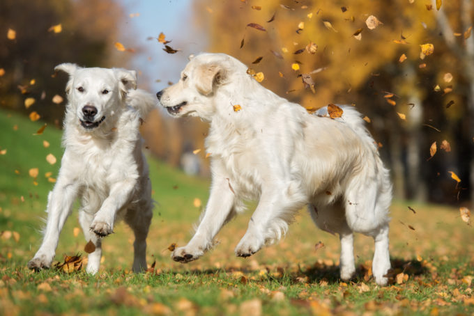 5 Dog-Friendly Fun Fall Activities | Golden Meadows Retrievers