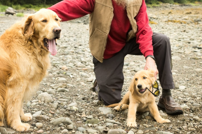 Tips for Successfully Adding a Second Dog to Your Family | Golden Meadows Retrievers