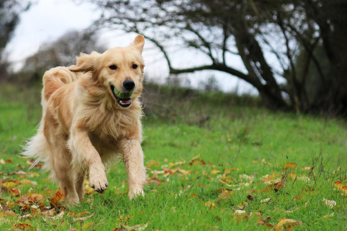 5 Brain-Boosting Games for Puppies | Golden Meadows Retrievers