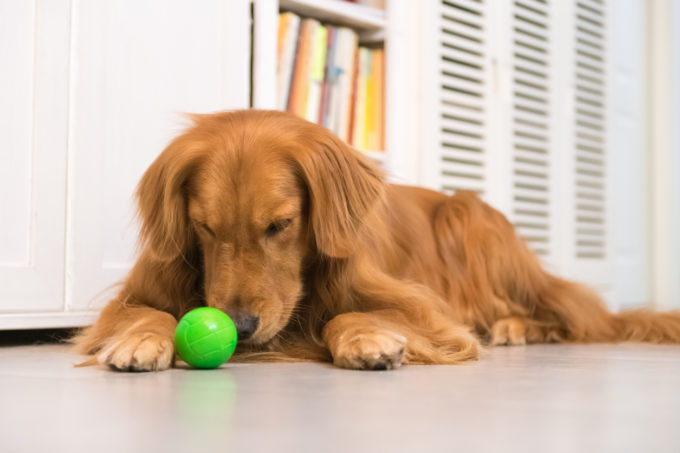 6 Tips for Teaching Your Dog to Fetch | Golden Meadows