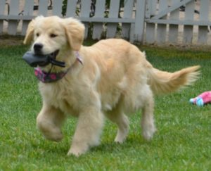 Training Golden Retrievers To Be Therapy Dogs
