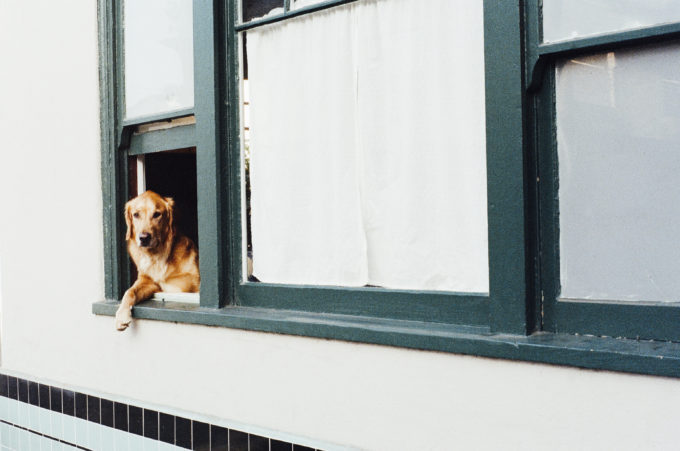How to Keep Dogs Stress-Free During a Move | Golden Meadows Retrievers