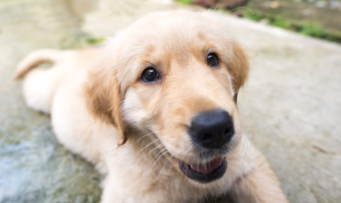 Did You Know Training Is Fundamental to Your Dog's Overall Well-Being? | Golden Meadows Retrievers