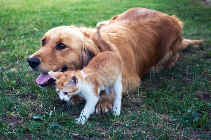 Dogs Are Brainier Than Cats, Study Finds | Golden Meadows Retrievers