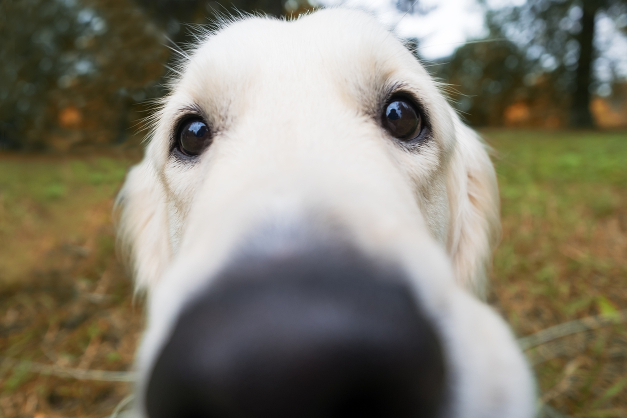 Does A Warm Dry Nose Mean Your Dog S Sick Golden Meadows