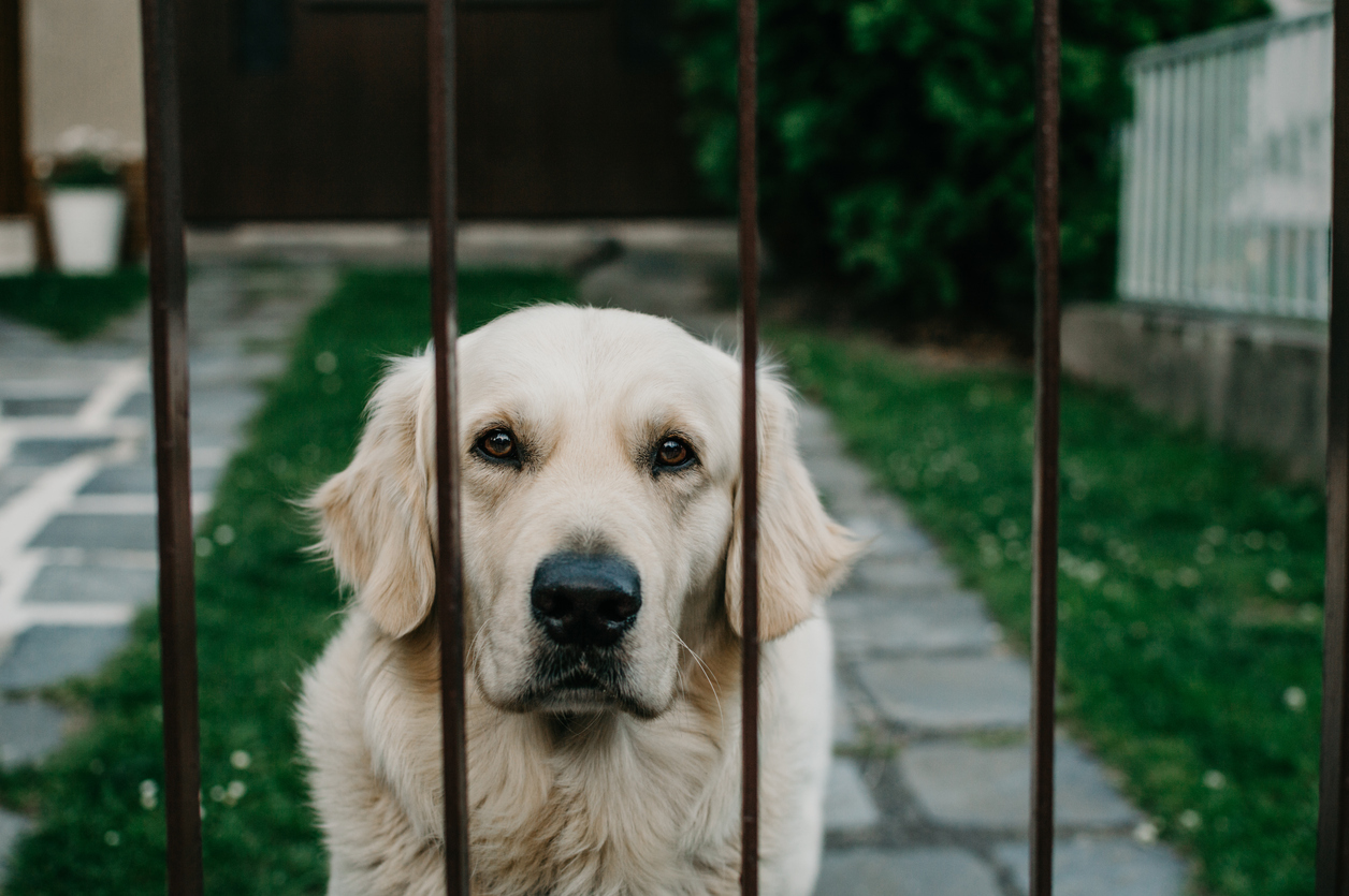 Addison S Disease In Dogs What Is It Golden Meadows Retrievers