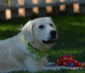 Trained Golden Retriever Puppies For Sale | Golden Meadows
