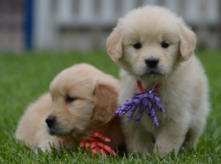 Top Quality Golden Retriever & Vizsla Breeder | Golden Meadows